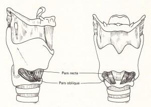 輪状甲状筋
