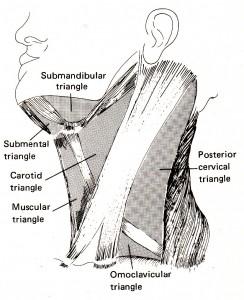 首の筋肉2