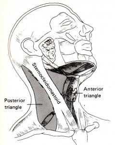 首の筋肉1