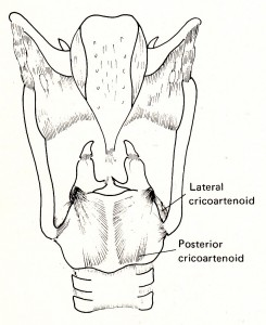 fig. 3-50 posterior cricoartenoid