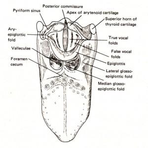 図3-10 喉頭蓋と舌